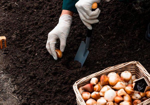 20201120_mejor-epoca-plantar-bulbos-cebolla-ajo-chalota