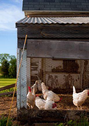 20201126_gallinero-clave-bienestar-gallinas