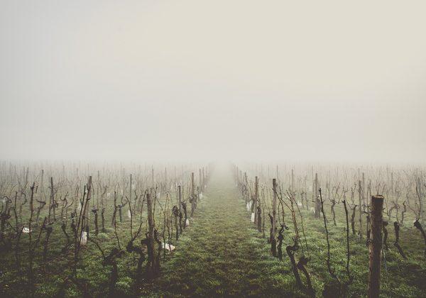 Los cuidados de la viña en invierno