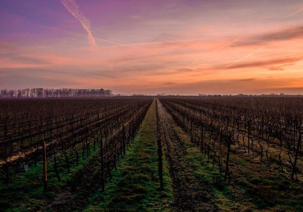 Enmienda caliza y fertilización de los viñedos